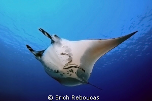 Manta cruising the blue by Erich Reboucas 